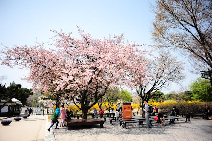 Palace Cherry Blossom