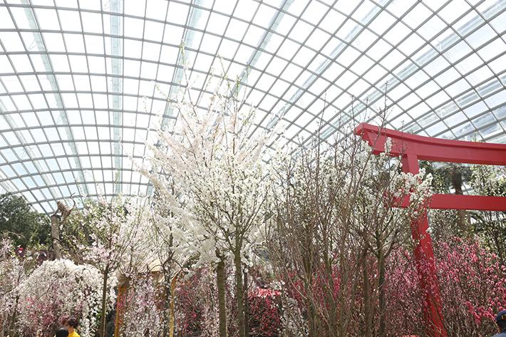 Cherry Blossoms 3
