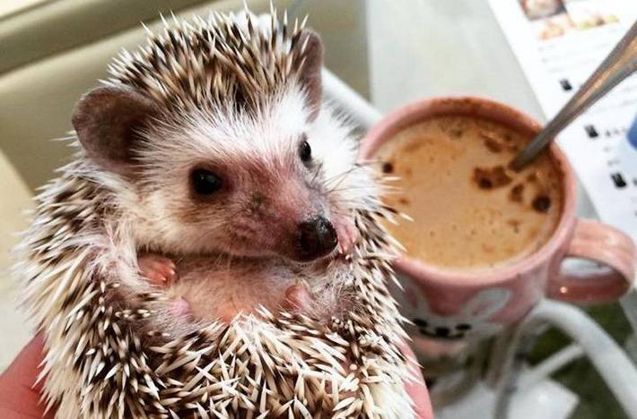 HARRY Hedgehog Cafe in Tokyo Roppongi