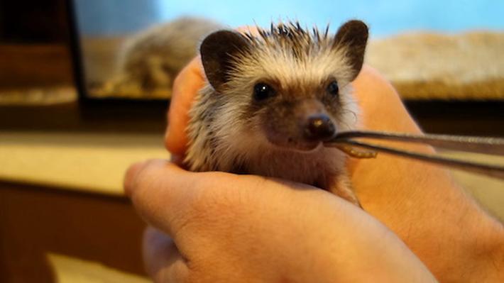 Harry Hedgehog Cafe Feeding
