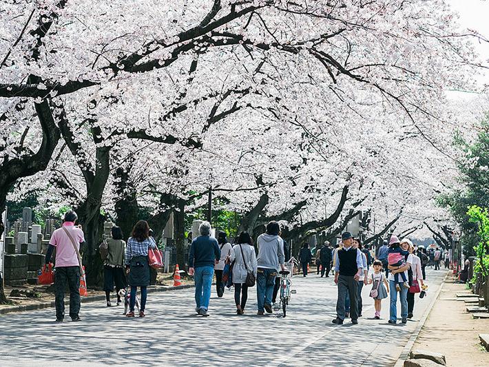 Yanesen Cemetery Cherry Blossom