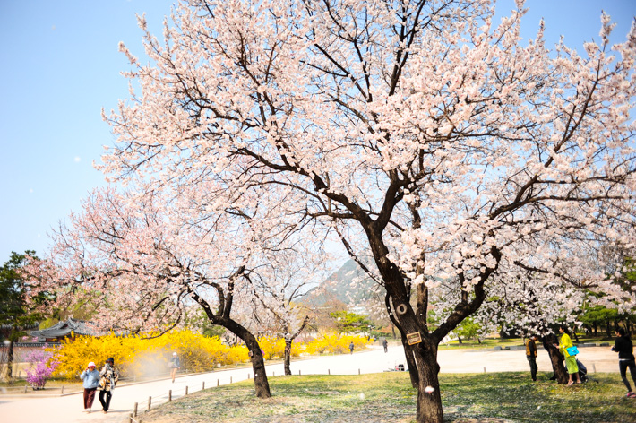 Cherry Blossoms Seoul
