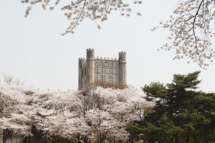 Kyunghee University Cherry Blossom
