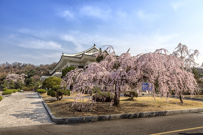 Seoul National Cemetery Cherry Blossom