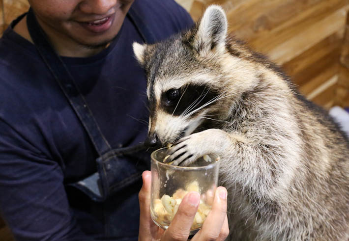Little Zoo Cafe Raccoon