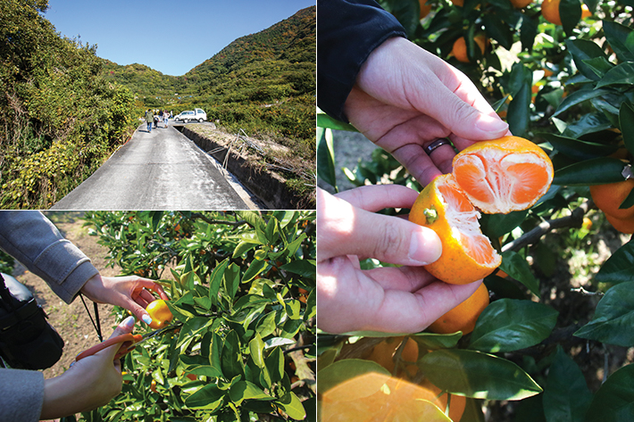 Mikan picking at Omishima Island