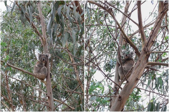 Koala Walk