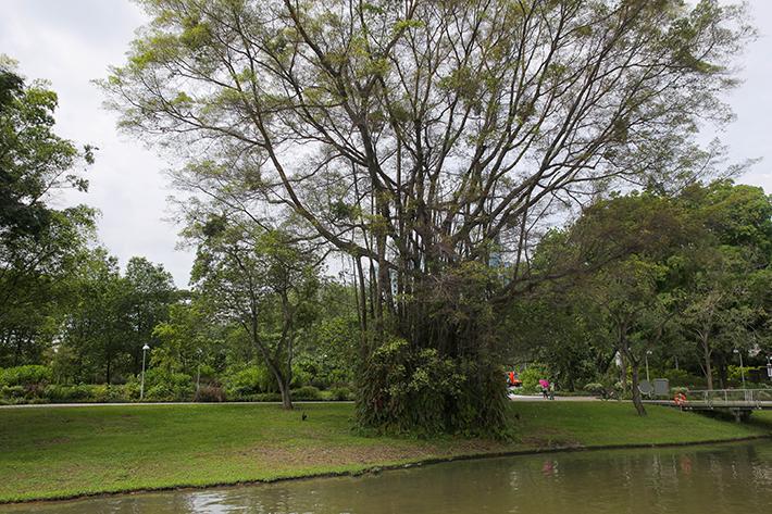 Jurong Lake Trees