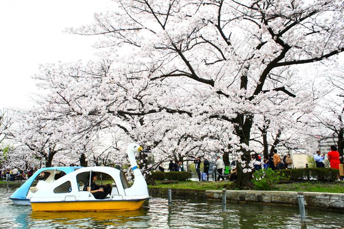 Cherry Blossom Boat Ride
