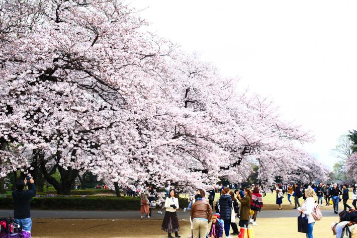 Cherry Blossom Shinjuku Park
