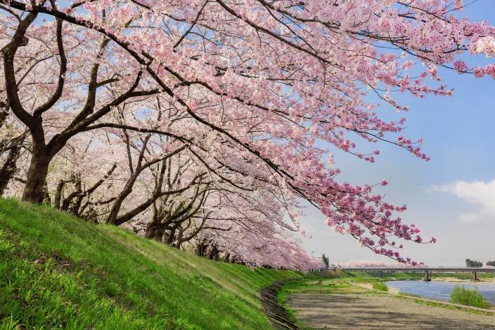 2020 Sakura Forecast Banner