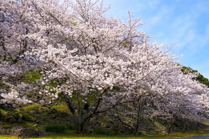 2020 Sakura Forecast Fukuoka