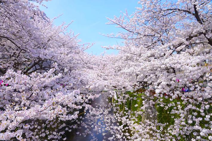 2020 Sakura Forecast Tokyo