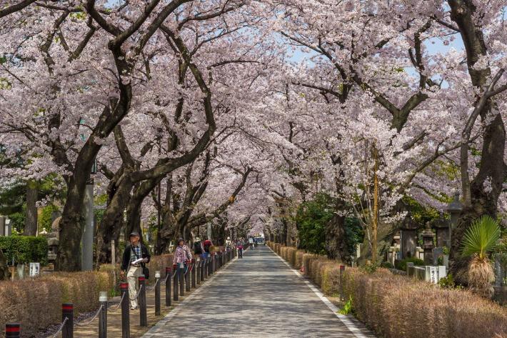 Aoyama Cemetry Cherry Blossom