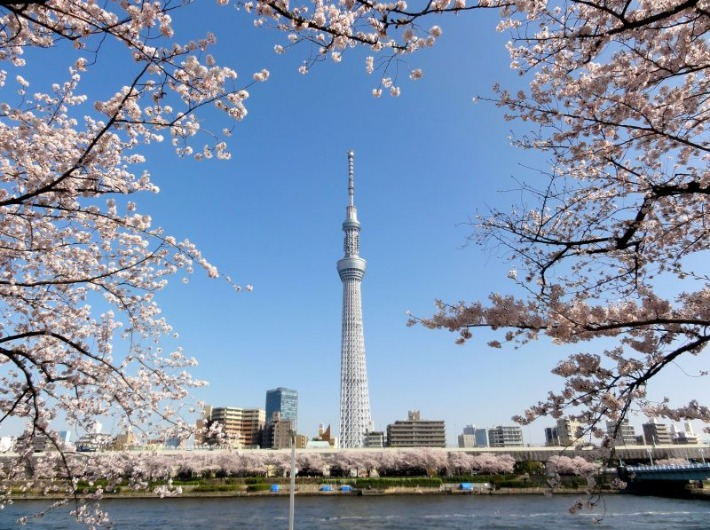 Asakusa Cherry Blossom