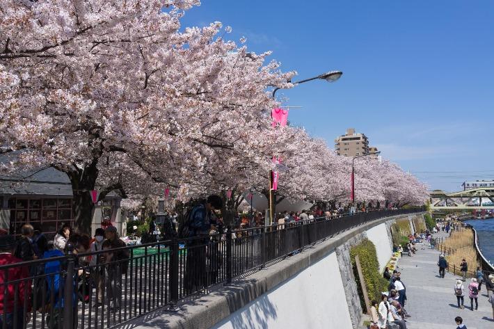 Asakusa Cherry Blossoms