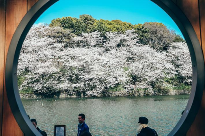 Chidoriga-Fuchi Cherry Blossom