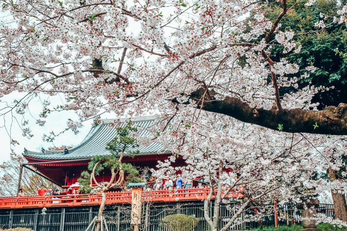 Ueno Cherry Blossom