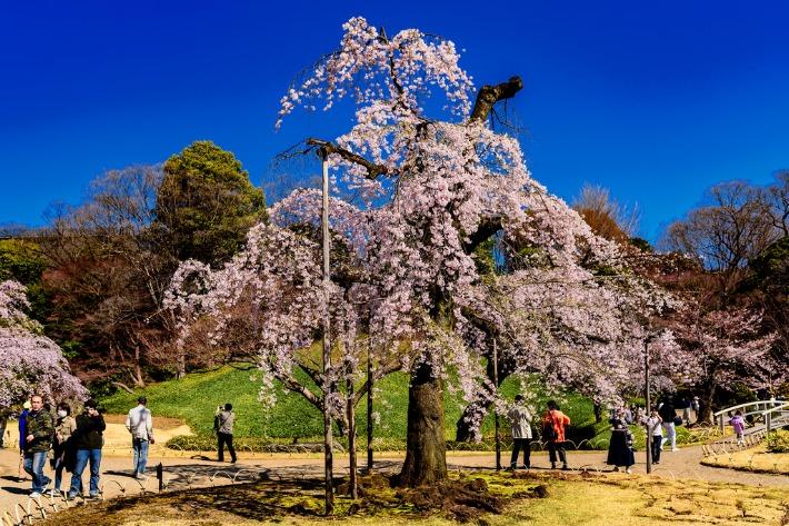 Koishikawa Korakuen Cherry Blossom