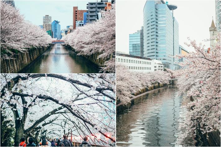 Meguro Park Cherry Blossom
